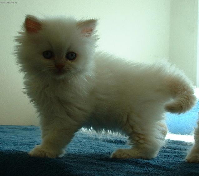 Fotky: Perská kočka (foto, obrazky)
