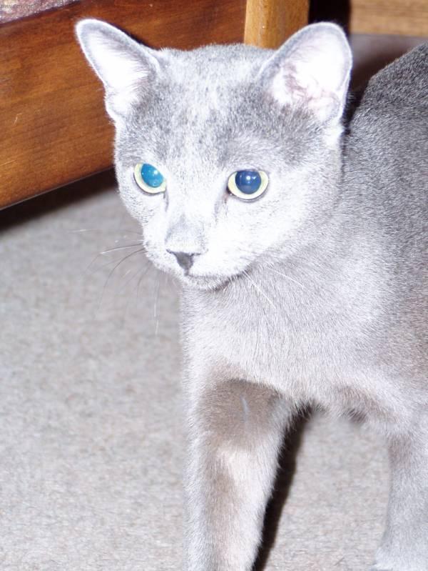 Fotky: Ruská modrá kočka (foto, obrazky)