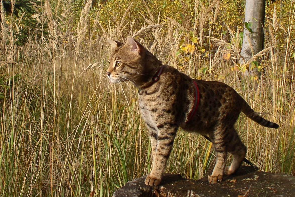 Fotky: Savanová kočka (foto, obrazky)