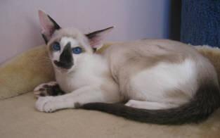 Fotky: Seychelská kočka (foto, obrazky)