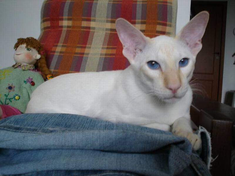 Fotky: Siamská kočka (foto, obrazky)