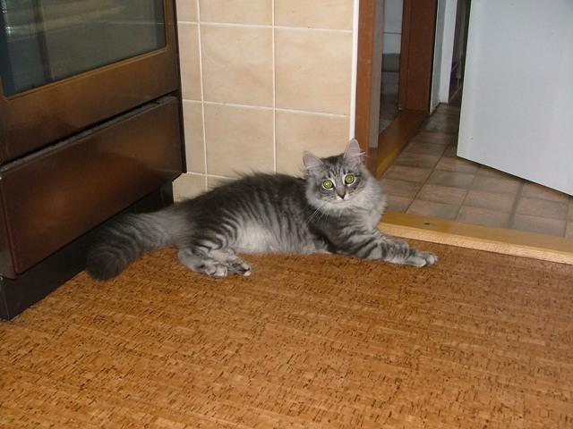 Fotky: Sibiřská kočka (foto, obrazky)