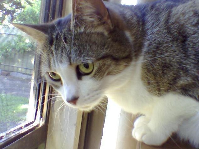 Fotky: Singapurská kočka (foto, obrazky)