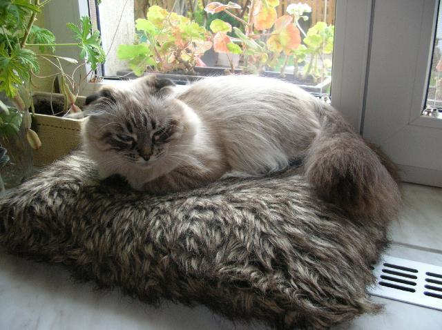Fotky: Skotská klapouchá kočka (foto, obrazky)