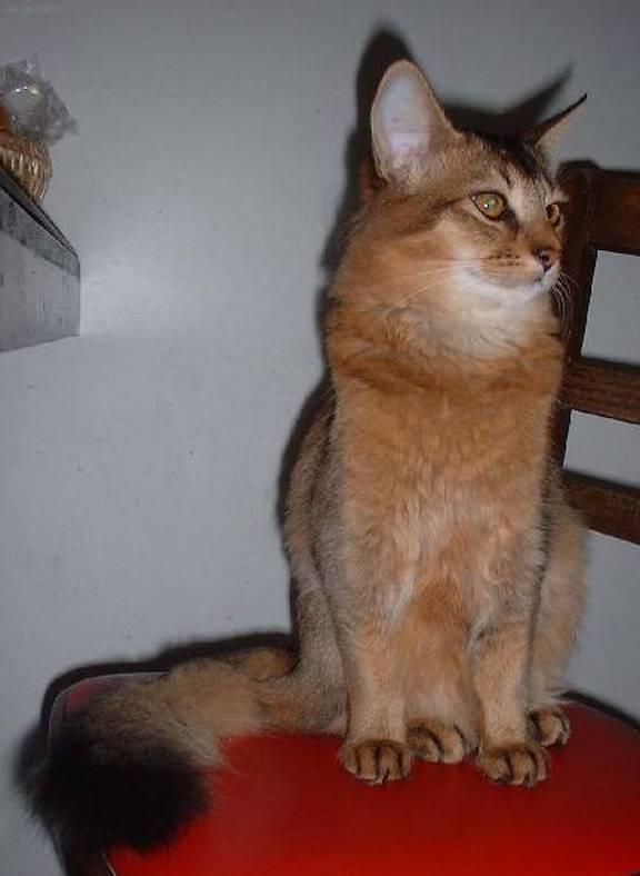 Fotky: Somálská kočka (foto, obrazky)
