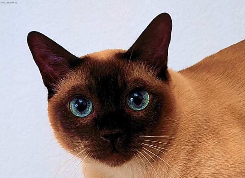 Fotky: Thajská kočka (foto, obrazky)