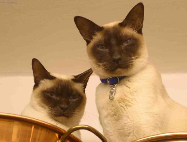 Fotky: Tonkinská kočka (foto, obrazky)