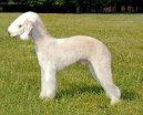:  > Bedlington terier (Bedlington Terrier)
