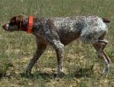 :  > Belgický ohař (Belgian Shorthaired Pointer)