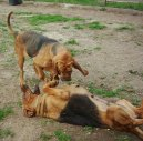 :  > Bloodhound (Chien de Saint-Hubert)