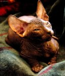 :  > Donský sphynx (Don Sphynx Cat)