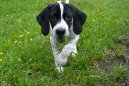 :  > Pointr (English Pointer)