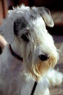 Psí plemena:  > Sealyham teriér (Sealyham Terrier)