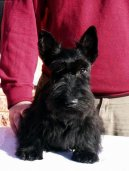 :  > Skotský teriér (Scottish Terrier)
