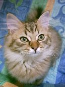 :  > Tiffany kočka (Tiffany Cat / Chantilly)
