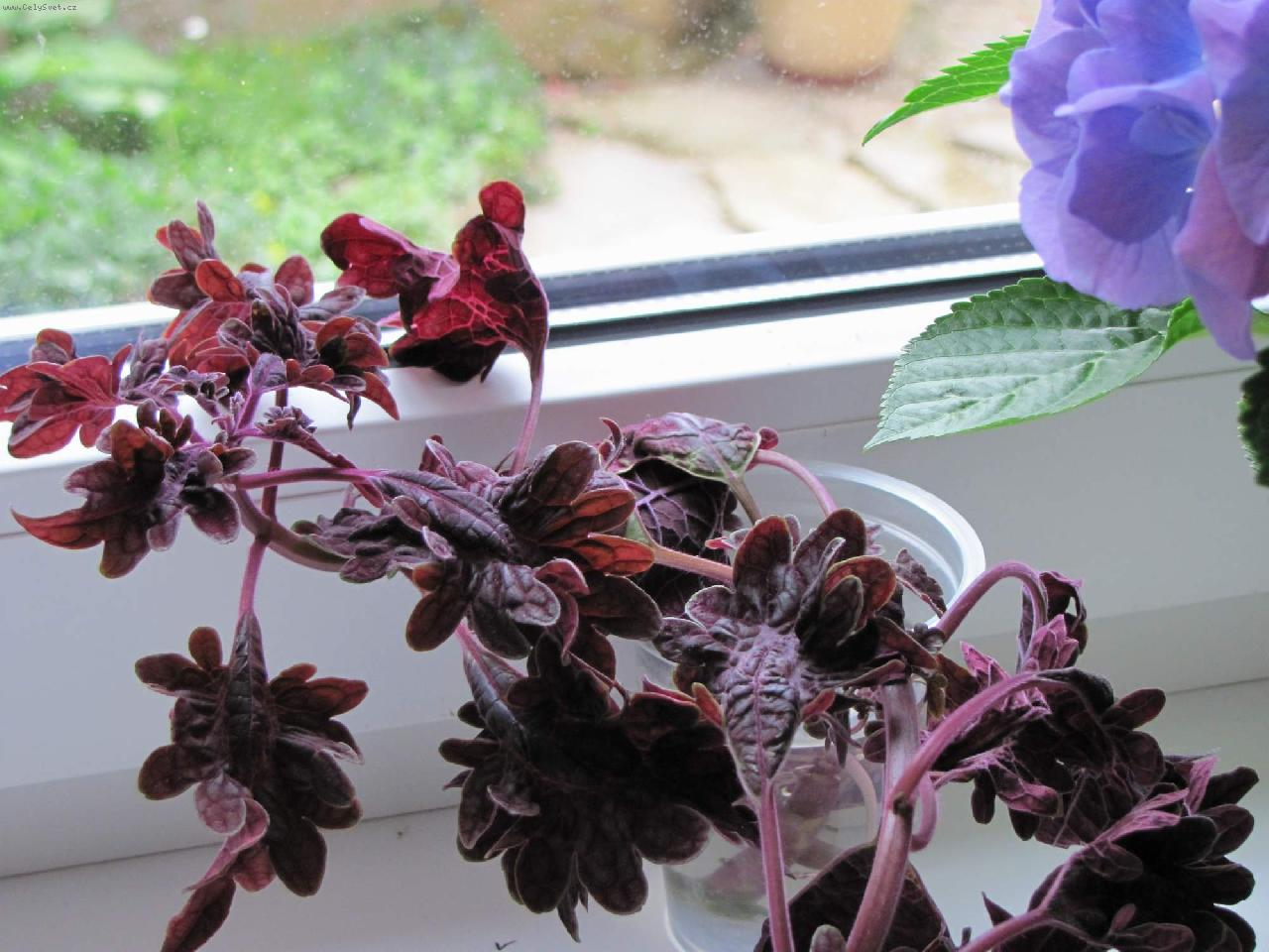 Foto: Coleus blumei Black Dragon