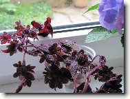 Coleus blumei Black Dragon